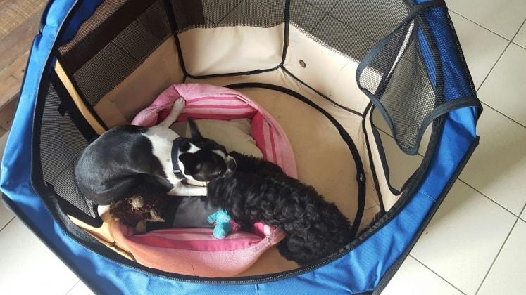 cavoodle lucius dog of pet parent bec pawshake